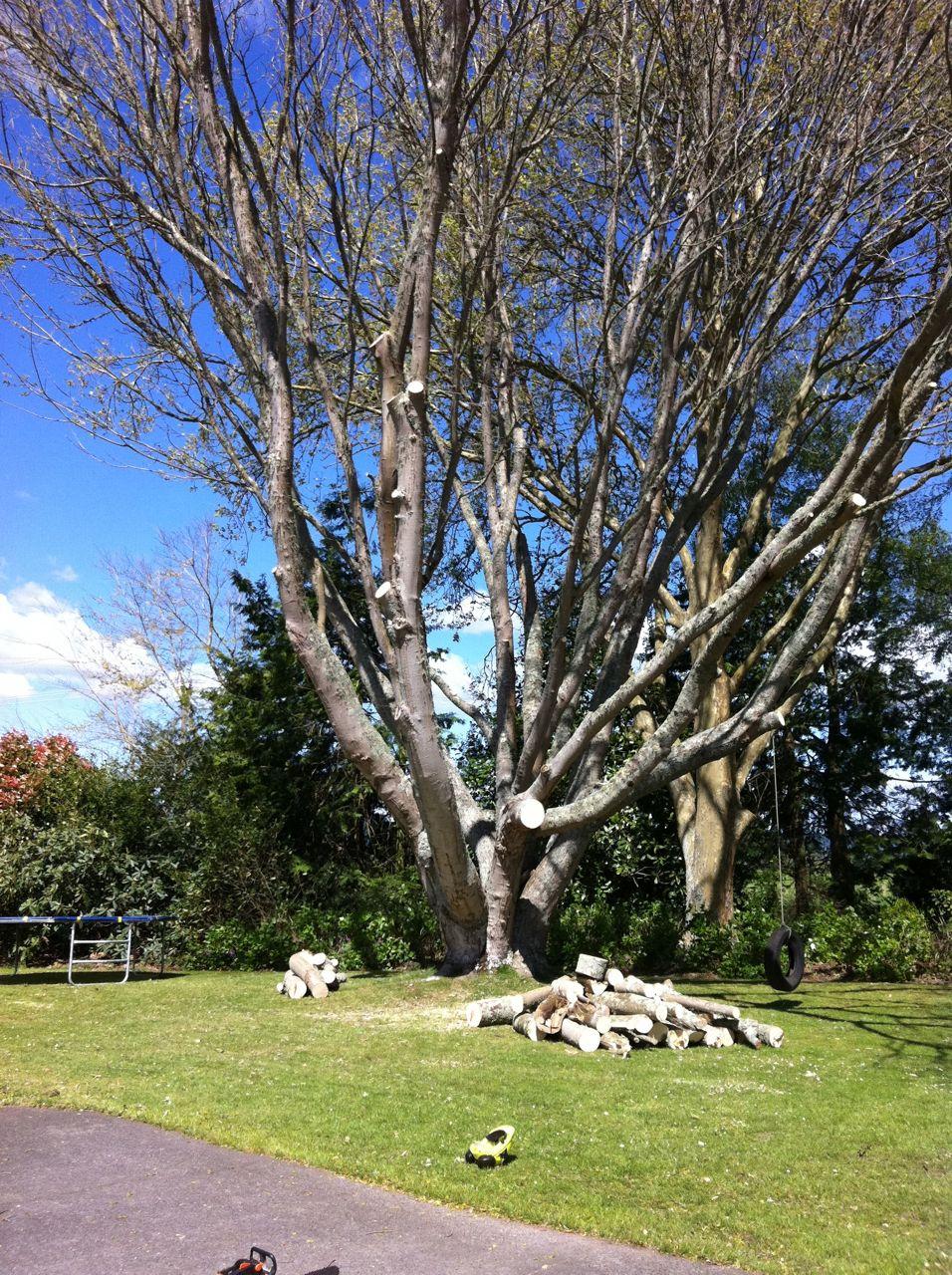 Beech_tree_pruning
