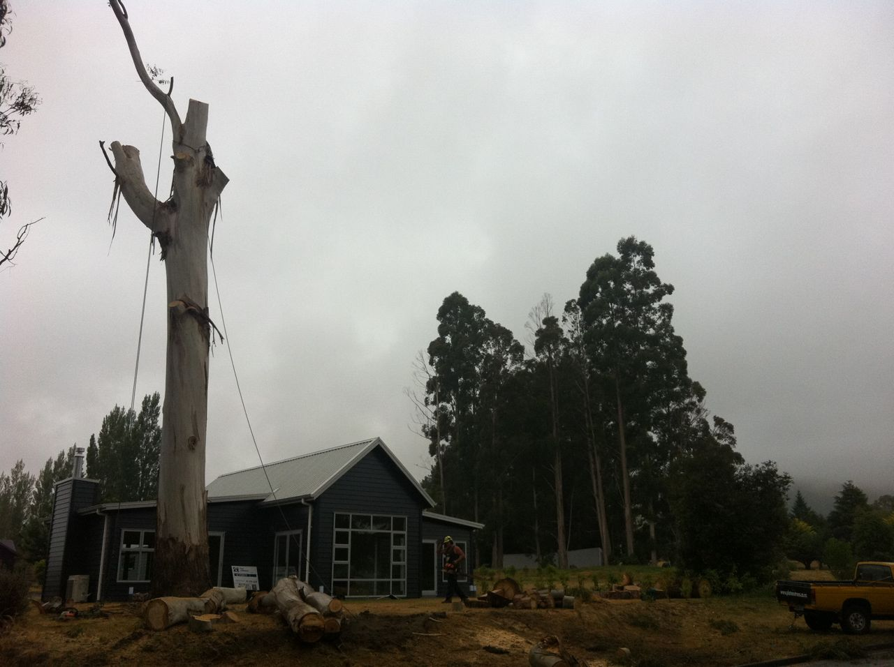 Large_gum_tree_removal