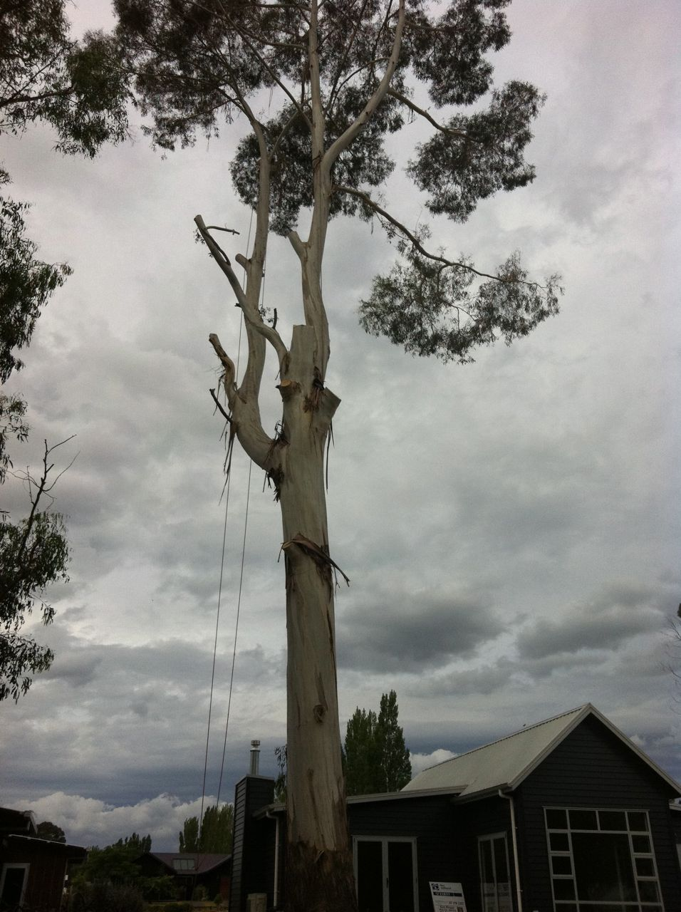 Large_gum_tree_removal_over_house