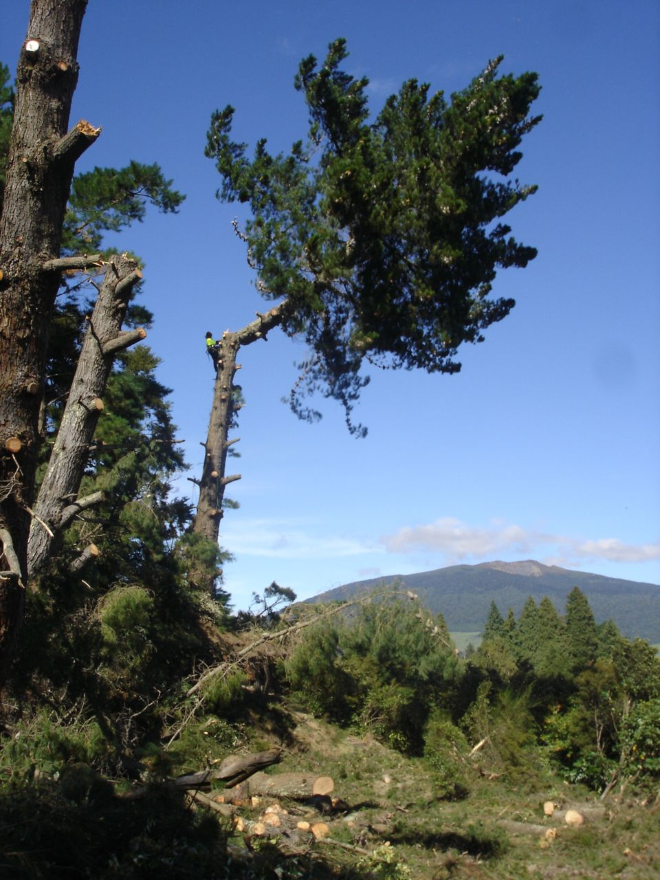 Large_pine_removal