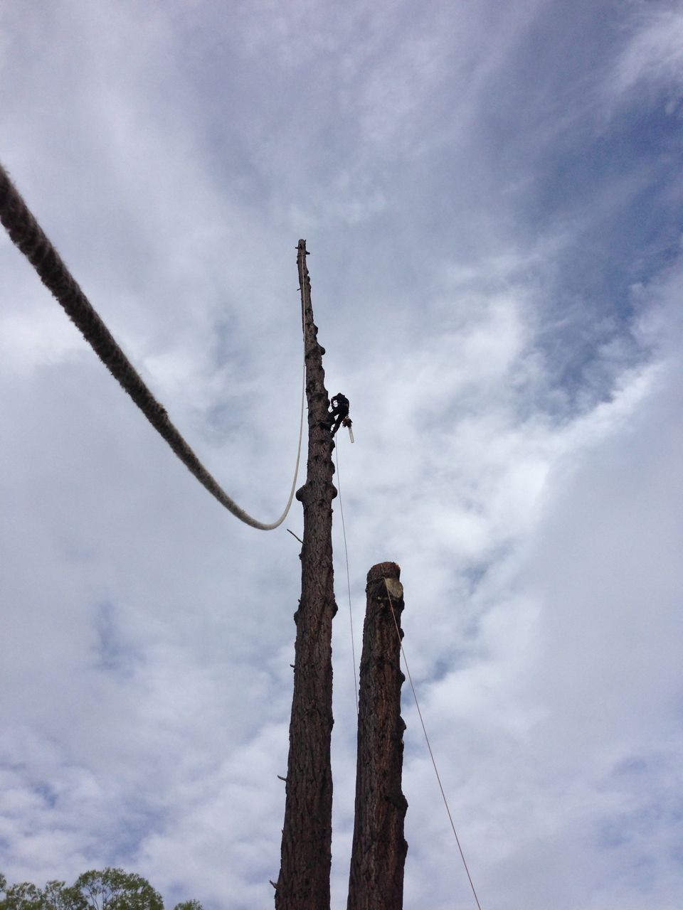 Large_pine_tree_removal