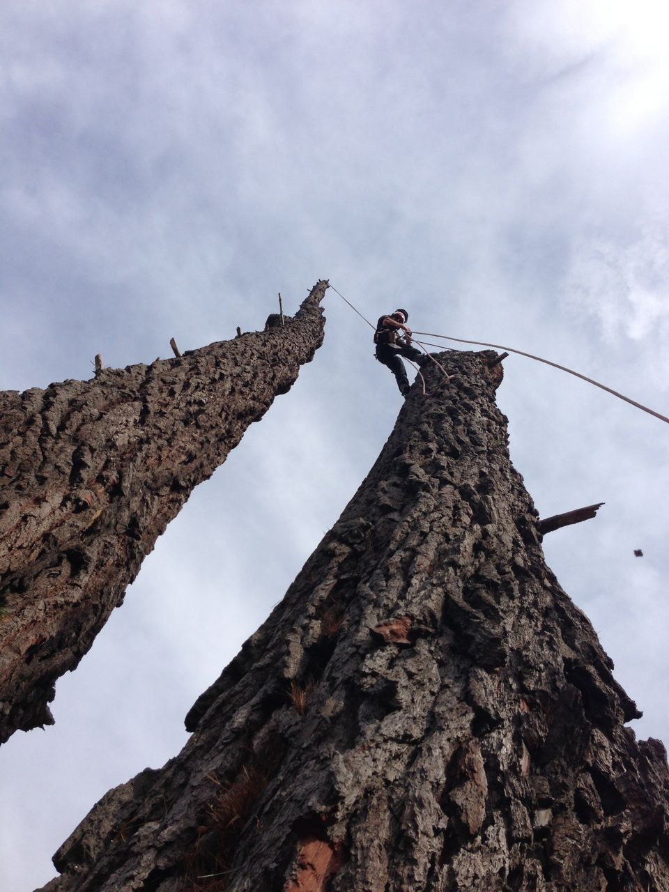 Large_twin_stem_tree_removal