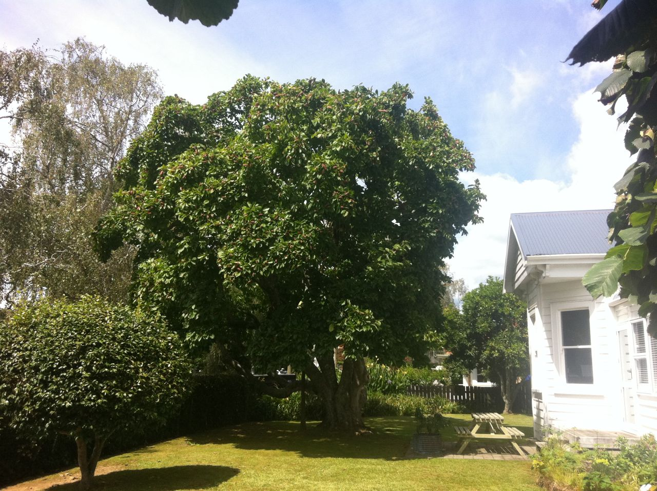 Magnolia-after-reduction