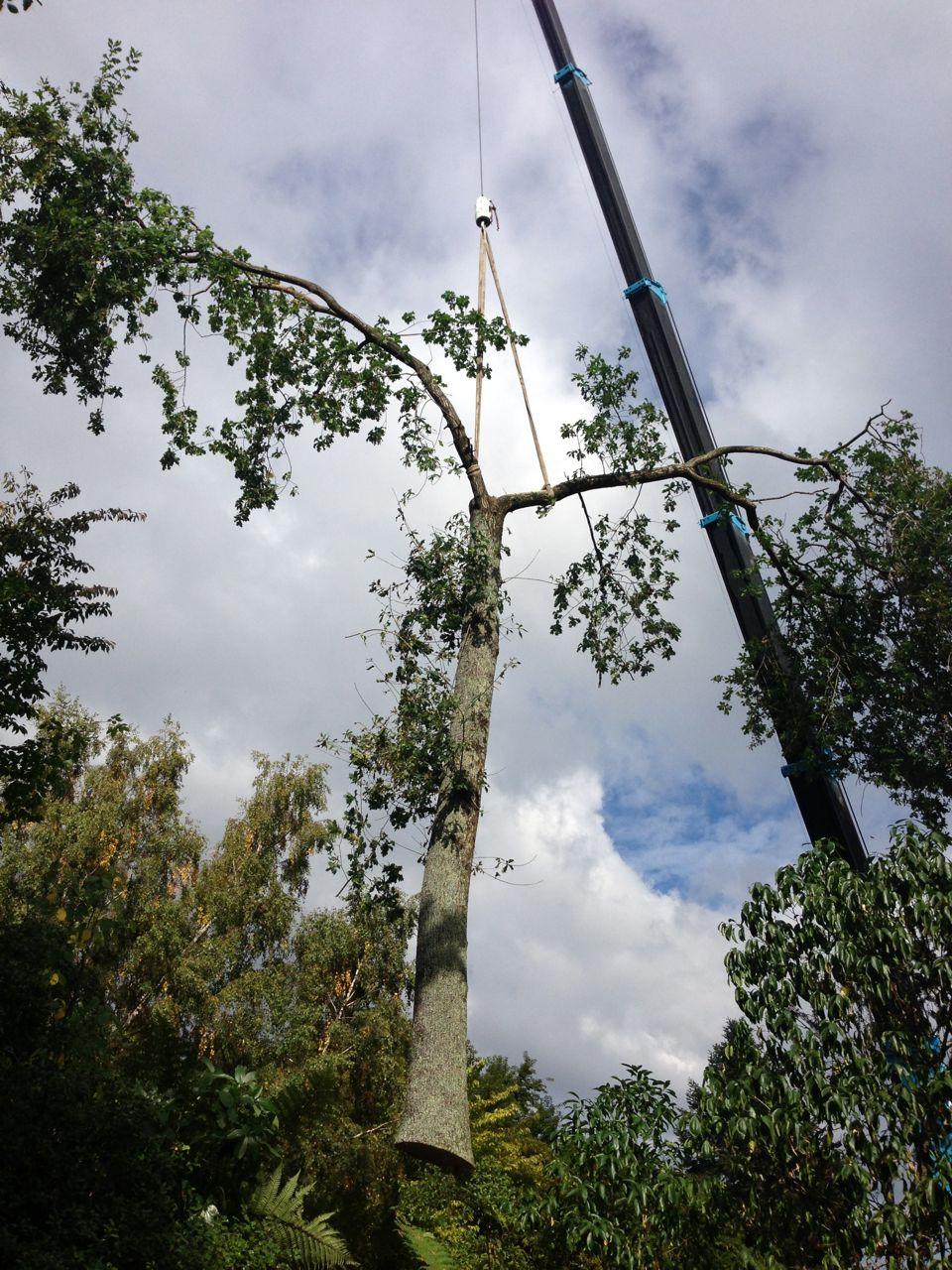 Oak_tree_removal