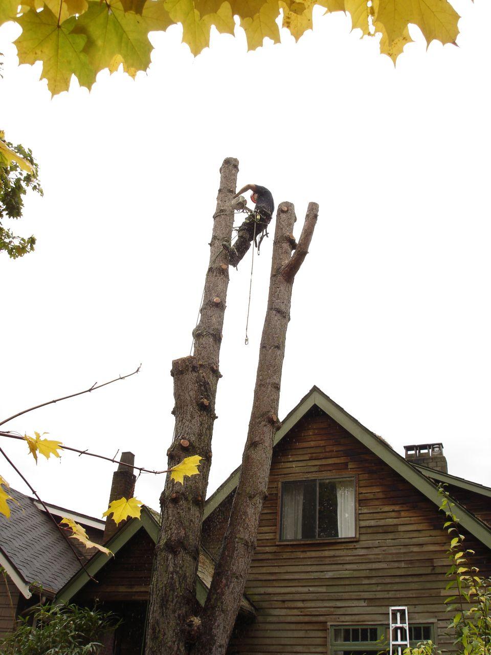 Twin_stem_tree_removal